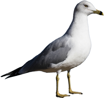 Ring-billed Gull isolated 350