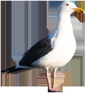 Western Gull 350