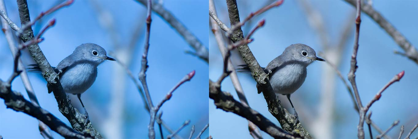 Before and after of a Blue-gray Gnatcatcher with temperature balance adjustment.