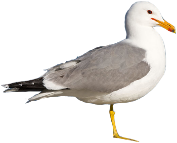 beginner birder - California Gull