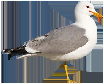 beginner birder - California Gull