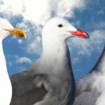 The Beginner Birder's Gull Guide