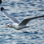 Releasing Gulls at White Point
