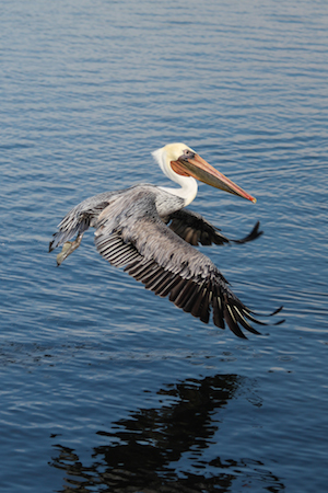 Pelican - Printing bird photos