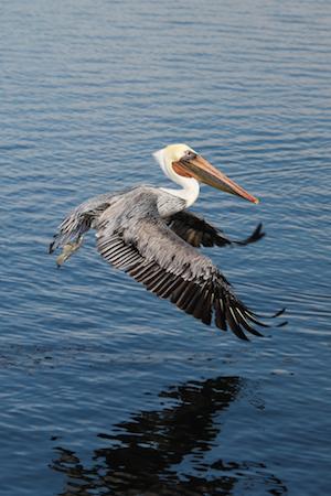 Pelican - Printing bird photos