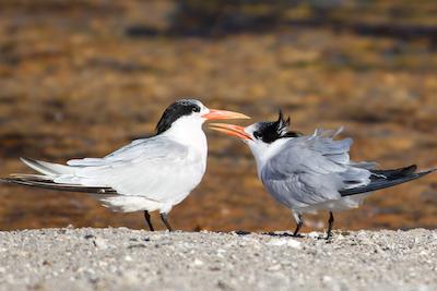 Royal Tern Couple - printing bird photos