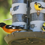 The Great Backyard Bird Count is near!