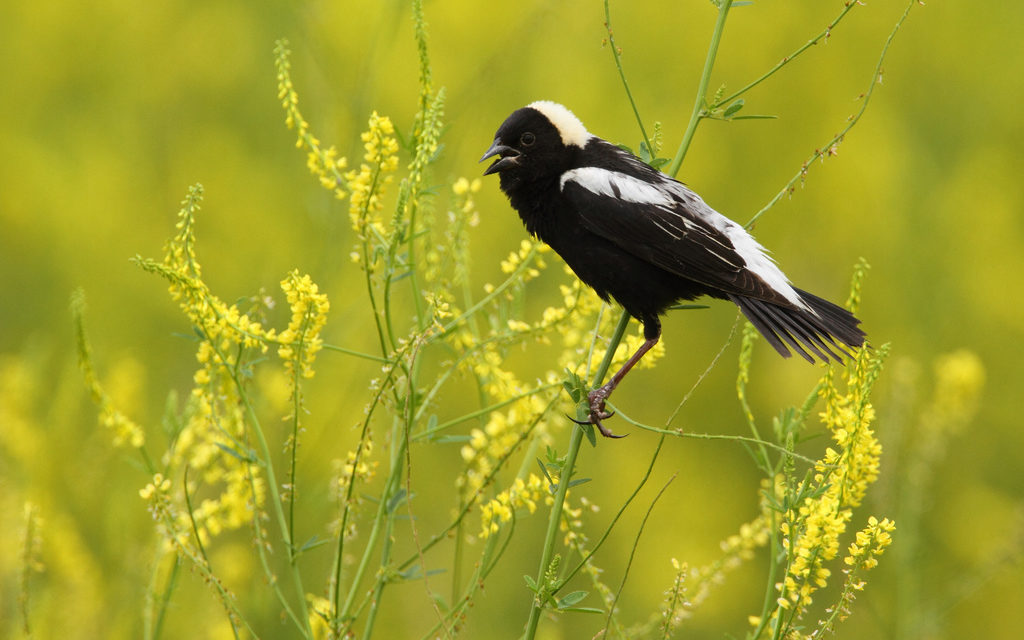 The Song of The Bobolink