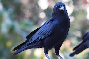 American Crow, beginner birder