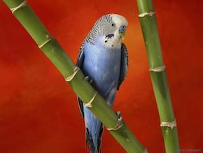 Blue parakeet, beginner birder