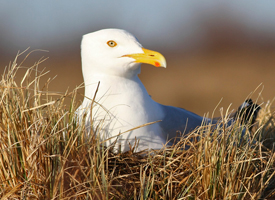 beginner birder, herring gull
