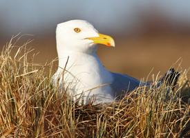 beginner birder, herring gull