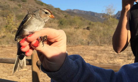 Bird Banding in Zuma Canyon