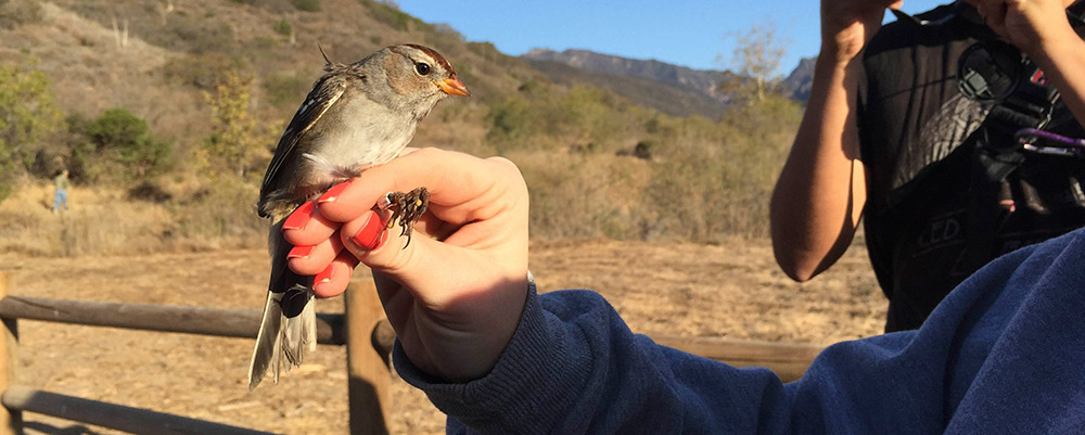 Bird Banding in Zuma Canyon