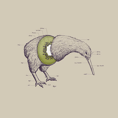 kiwi bird anatomy