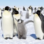 Why Do Penguins Waddle?