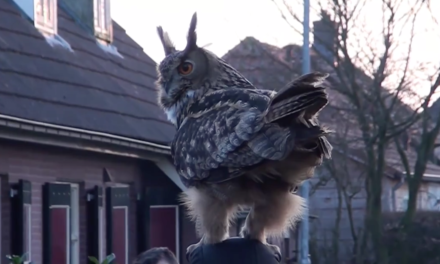 Dutch 'Cuddly Owl' Finally Caught on Video