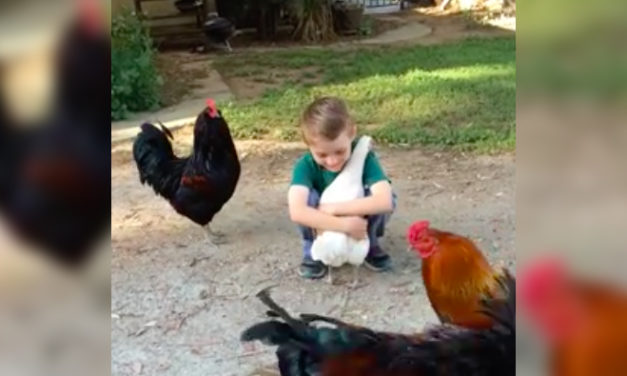 Chicken Goes in for a Hug Then Second-Guesses Itself