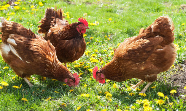 QUIZ: What Kind of Chicken Are You?