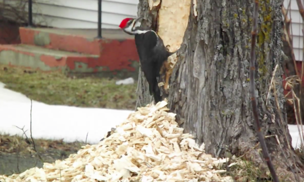 Pileated Woodpecker Absolutely Destroys Tree