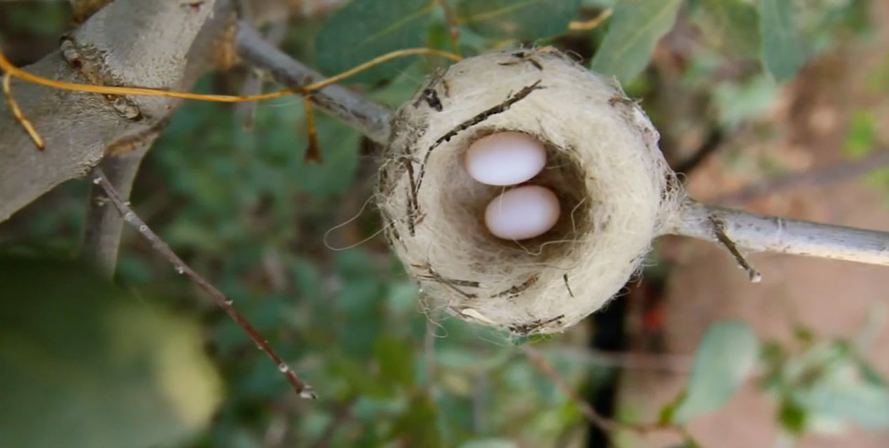 Video Hummingbird Builds A Nest Because Birds