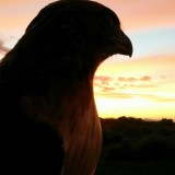 A Day in The Life of a Falconer