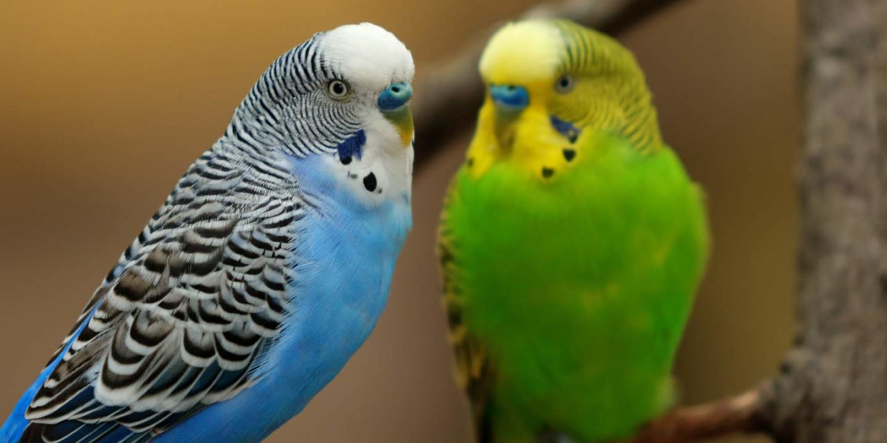 Parakeets Show Empathy Through Contagious Yawning