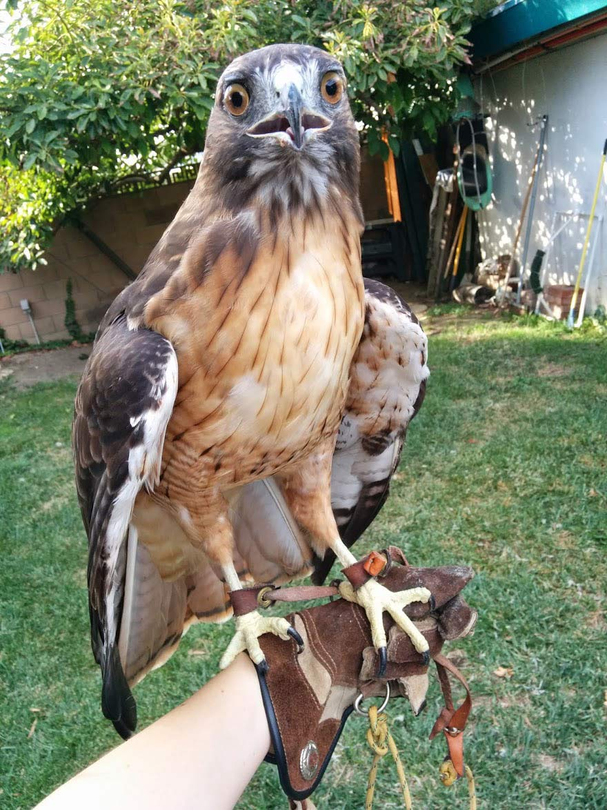 red-tailed-hawk-resting-on-glove