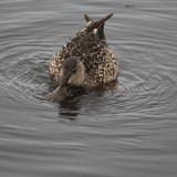 Duck Feeding PSA