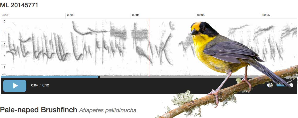 ebird audio example