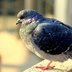 5 Things You Might Not Know About Pigeons