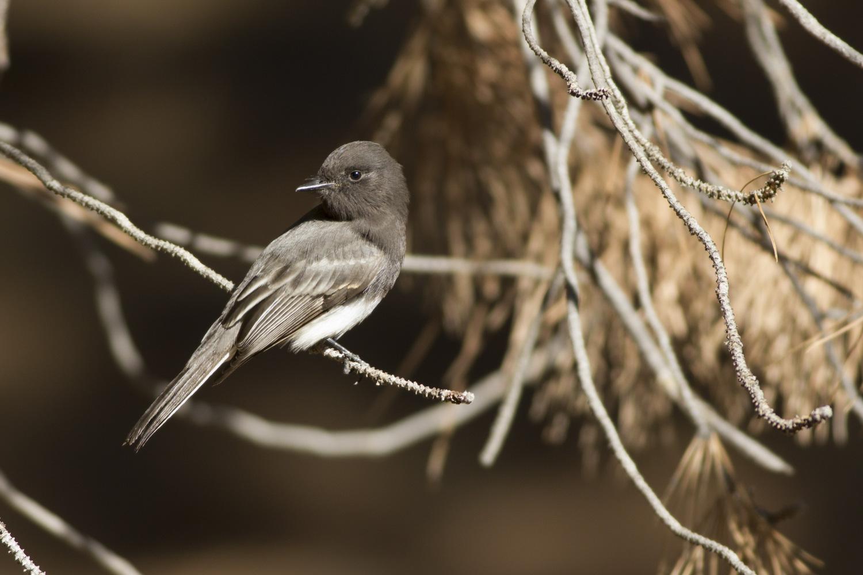 black phoebe christmas bird count limekiln