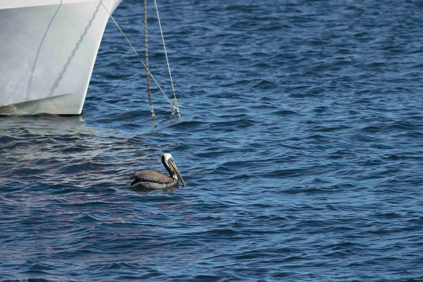 brown pelicans and a boat
