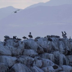 Counting Brown Pelicans with Audubon California