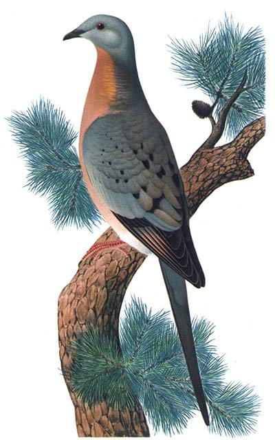 passenger-pigeon-perched-illustration
