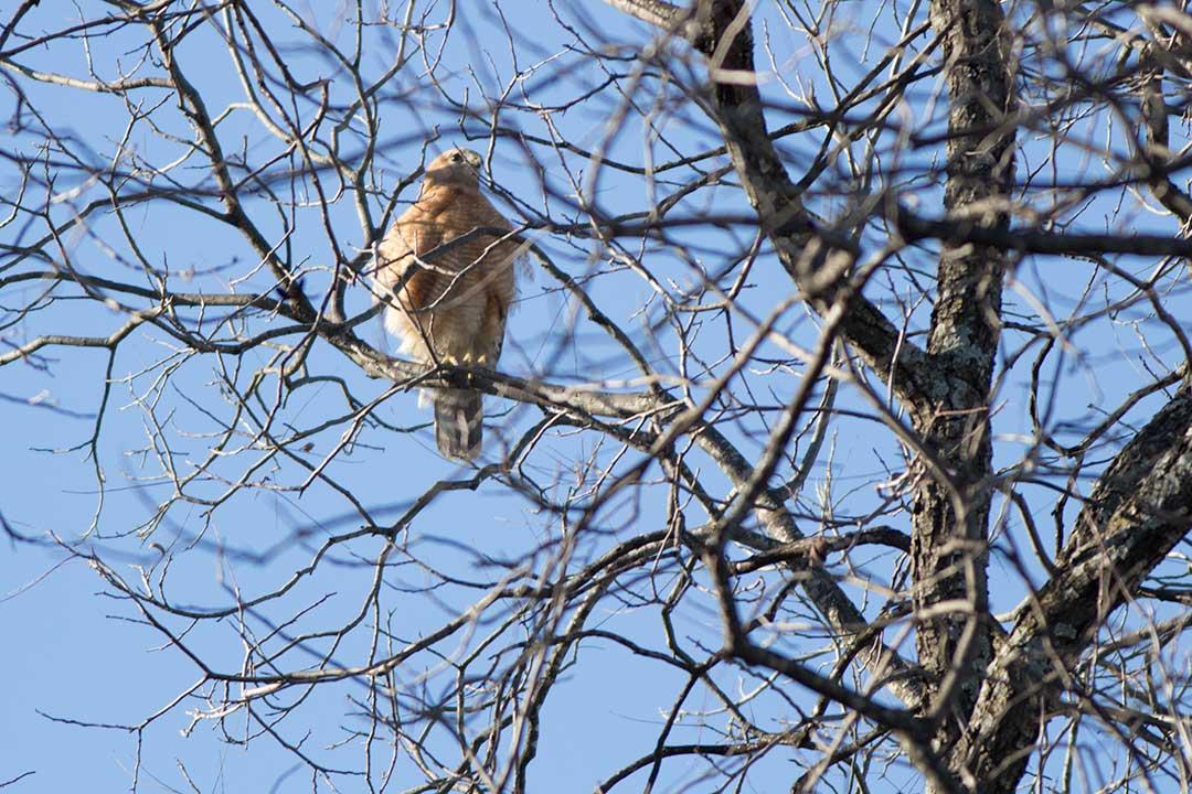 cooper's hawk sitting in tree