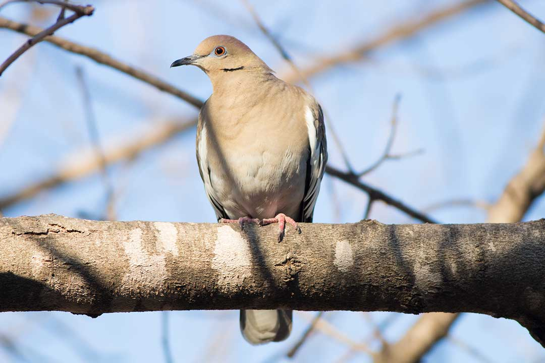 white-winged dove in tree