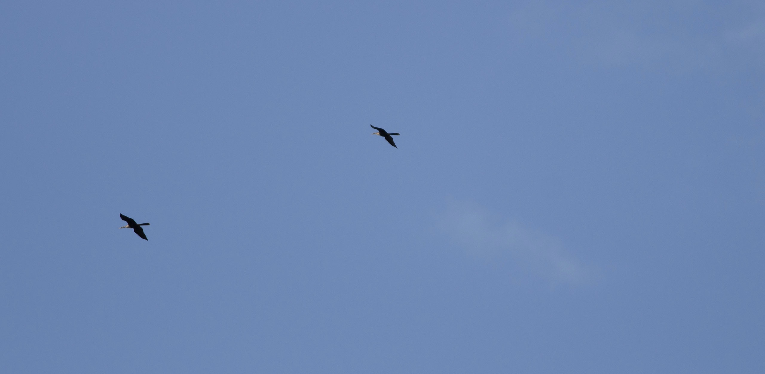 far away anhingas soaring in a blue sky
