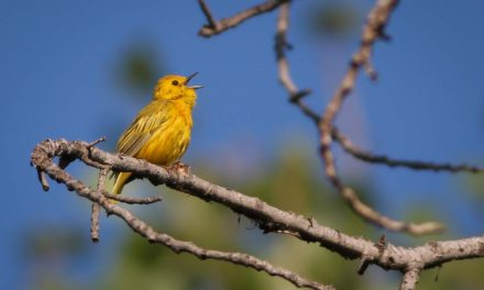 Non-obvious Tips to Help Identify Birds
