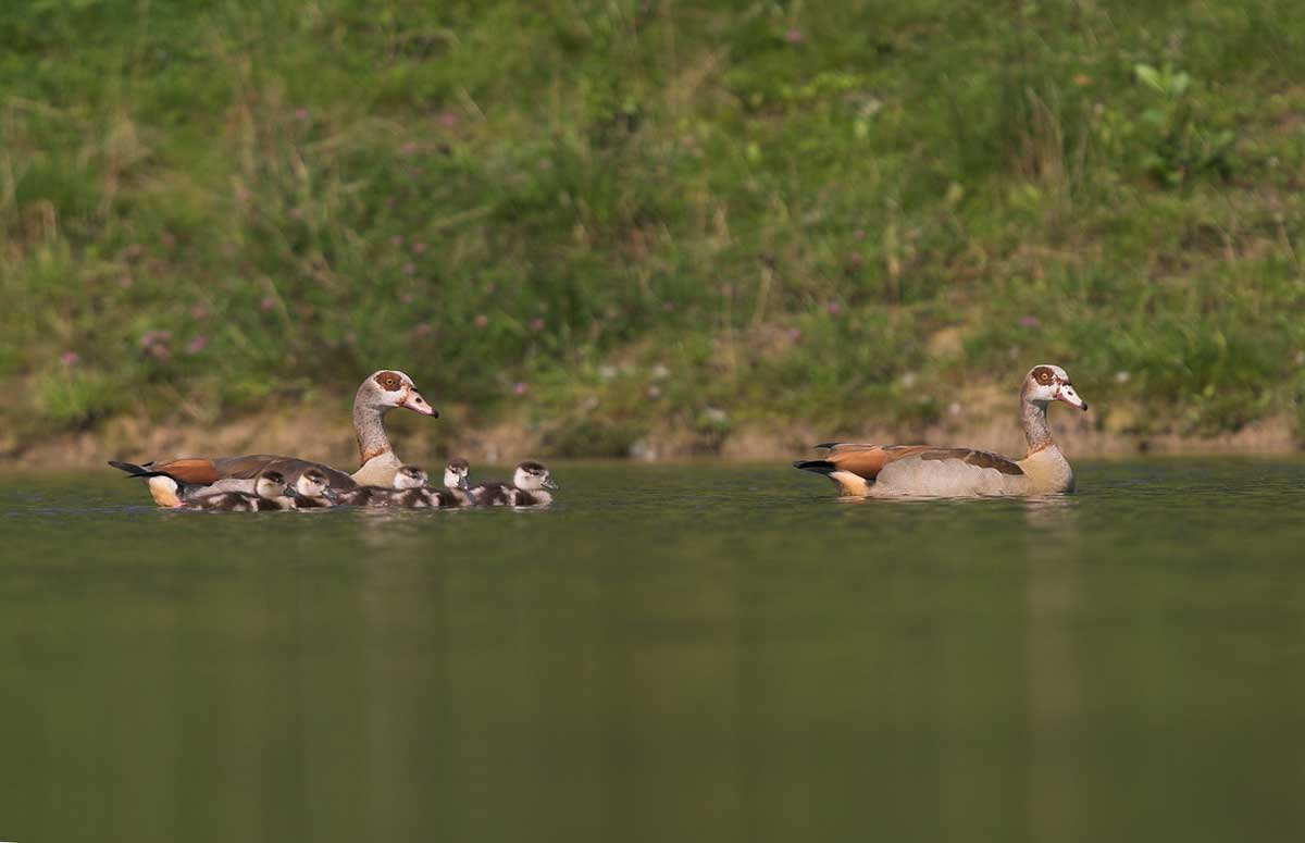 Egyptian Geese with five chicks swimming