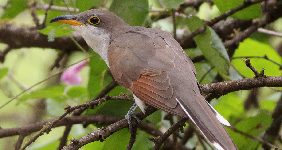 Finding a Yellow-billed Cuckoo while birding at Pearsall Park